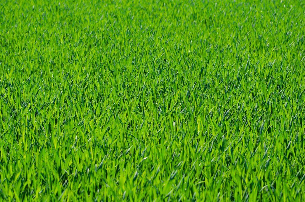 grass, lawn, grass blades